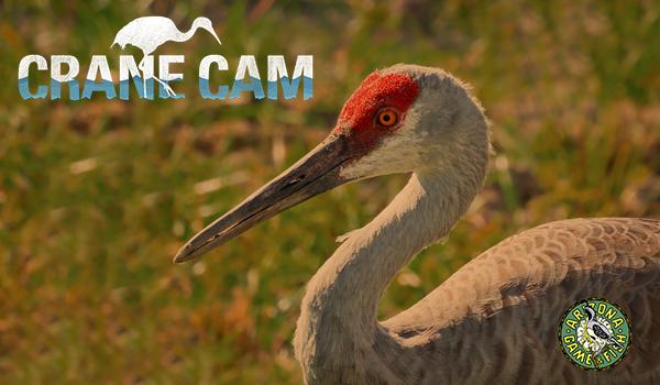 Sandhill Cranes Live Cam